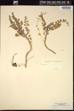 Image of Astragalus contortuplicatus