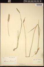 Alopecurus bulbosus image