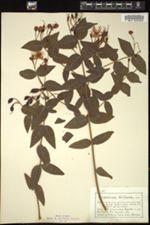 Image of Hypericum hircinum