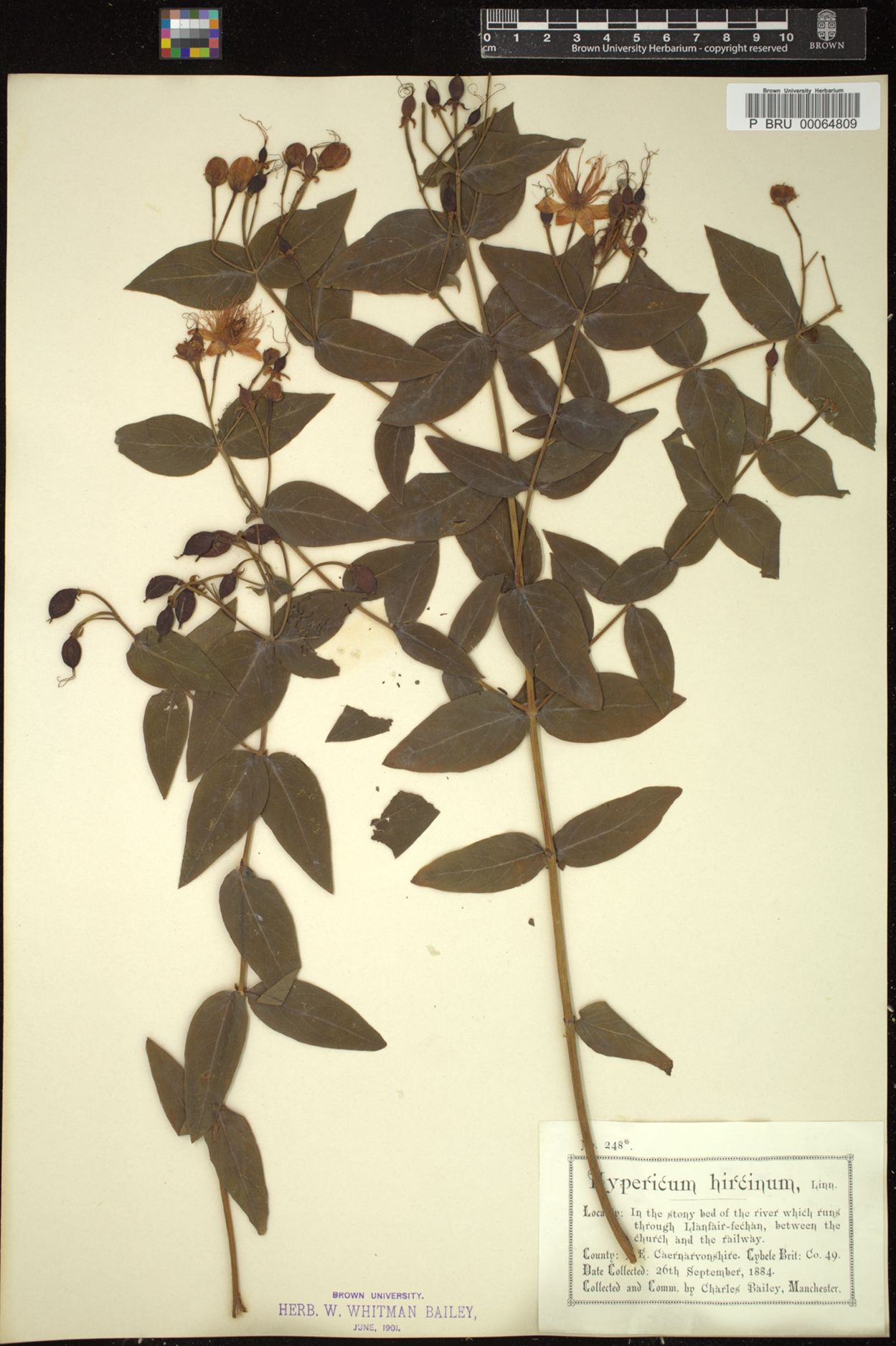 Hypericum hircinum image