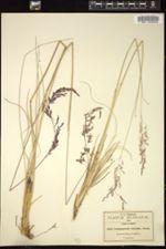 Image of Calamagrostis orizabae