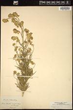 Aconitum anthora image