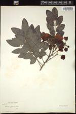 Image of Cassia glauca