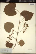 Image of Vitis caribaea
