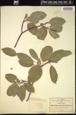 Image of Sebastiania appendiculata