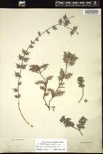 Image of Crossopetalum aquifolium