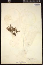 Image of Asplenium adulterinum