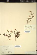Viola lactea image