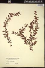 Image of Chamaecrista cordistipula