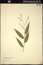 Image of Panicum sloanei