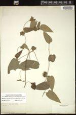 Image of Dalechampia denticulata