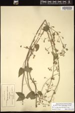 Image of Salvia chalarothyrsa