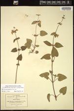 Stachys boraginoides image