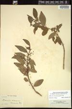Image of Mecranium racemosum