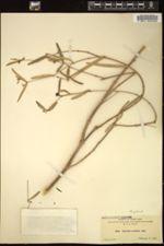 Image of Euphorbia articulata