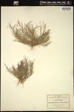 Image of Muhlenbergia breviseta