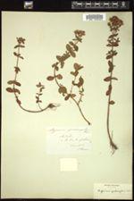 Hypericum tetrapterum image