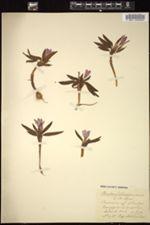 Image of Babiana fragrans