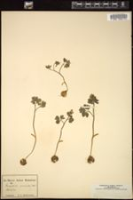 Corydalis pumila image