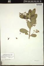 Image of Excoecaria polyandra