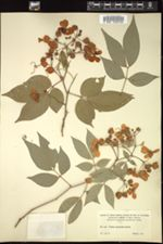 Image of Cassia oxyphylla