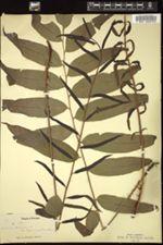 Image of Acrostichum sorbifolium