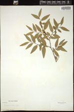 Image of Bonania myricifolia