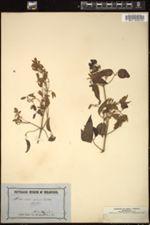 Image of Clematis aristata