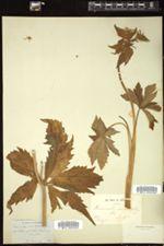 Ranunculus aconitifolius image