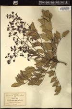 Image of Berberis pallida