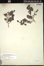 Erythroxylum alaternifolium image