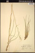 Image of Glyceria remota