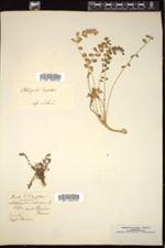 Image of Astragalus depressus