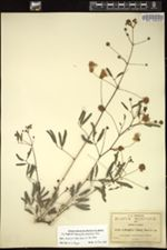 Calliandra oaxacana image