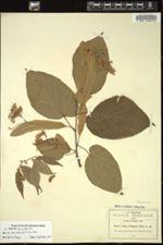 Image of Tilia pringlei