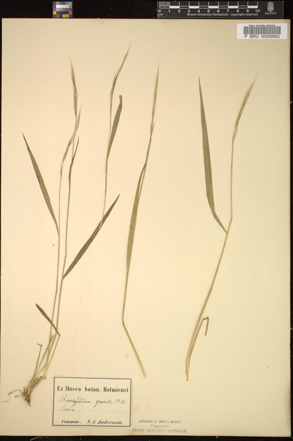 Brachypodium gracile image