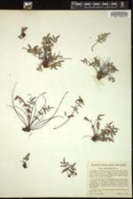 Image of Pellaea glabella