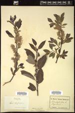 Salix phylicifolia image