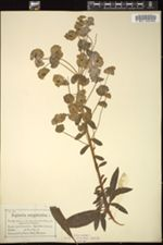 Euphorbia amygdaloides image