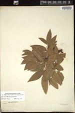 Image of Banara minutiflora
