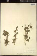 Celtis pallida image