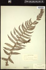 Image of Polystichum muricatum