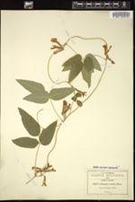 Image of Cologania tenuis