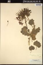 Image of Pelargonium inquinans