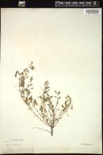 Chamaecrista pilosa image