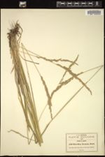 Image of Anthoxanthum mexicanum