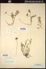 Image of Astragalus astragalinus