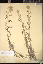 Image of Pseudognaphalium albescens