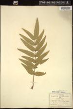 Image of Berberis lanceolata
