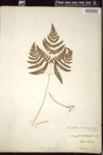 Image of Gymnocarpium disjunctum